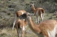 Des guanacos dans le parc Torres del Paine