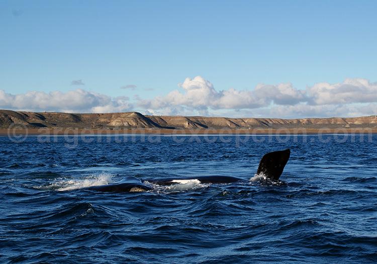 Baleine franche australe à Valdés