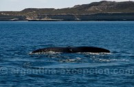 Baleine franche australe, Golfo Nuevo, Péninsule de Valdés