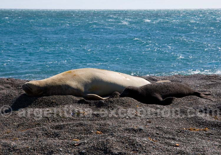 Lion de mer, Punta Delgada, Péninsule de Valdés
