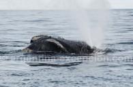 Une baleine près de la Péninsule Valdès