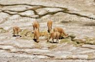 Des vigognes près de la Laguna Brava