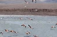Des flamants sur la Laguna Brava