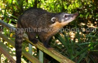 Un coati à Iguazú