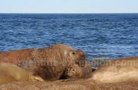 Elefantes de mar, peninsula Valdés