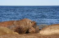 Eléphant de mer, patagonie