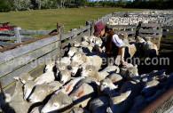 Sheeps in an estancia of Patagonia