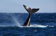 Une baleine à Puerto Piramides