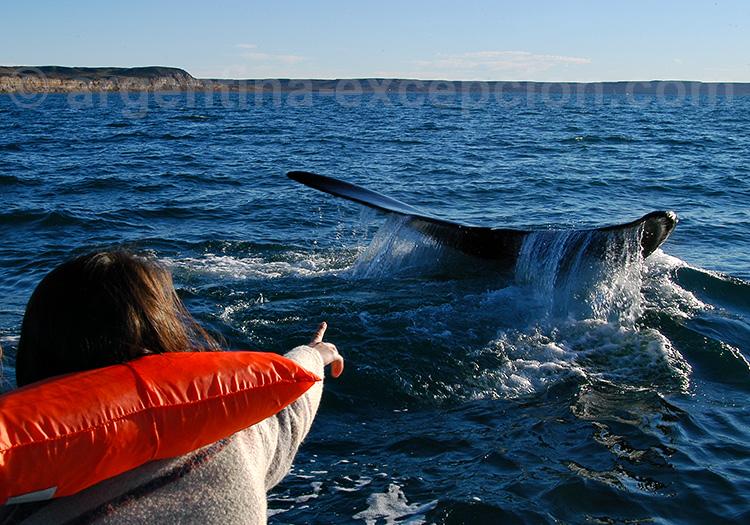 Excursion nautique - Baleine franche australe