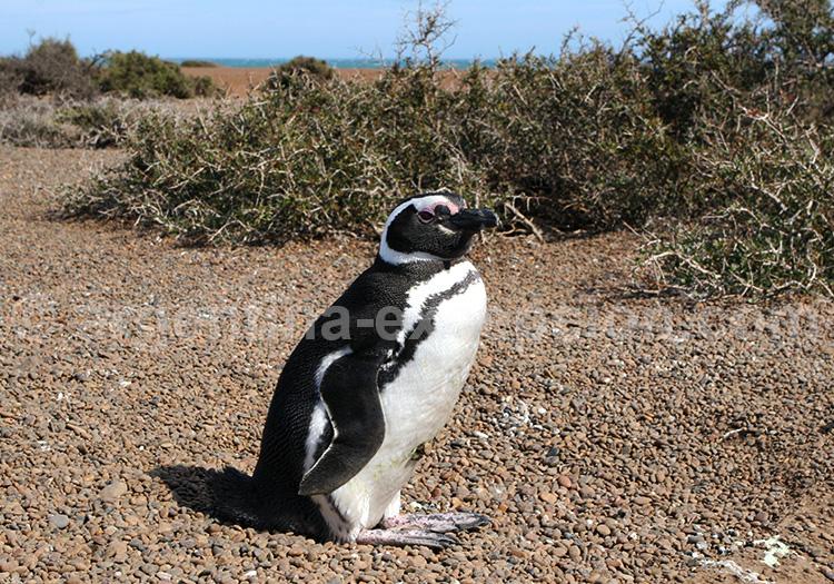 Punta Tombo, Chubut, Patagonie