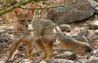Fauna en Talampaya