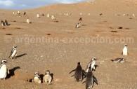 Des manchots de Magellan en Patagonie