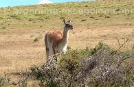 Un guanaco en Patagonie