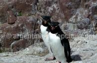 Manchot Gorfou, Isla Pinguino