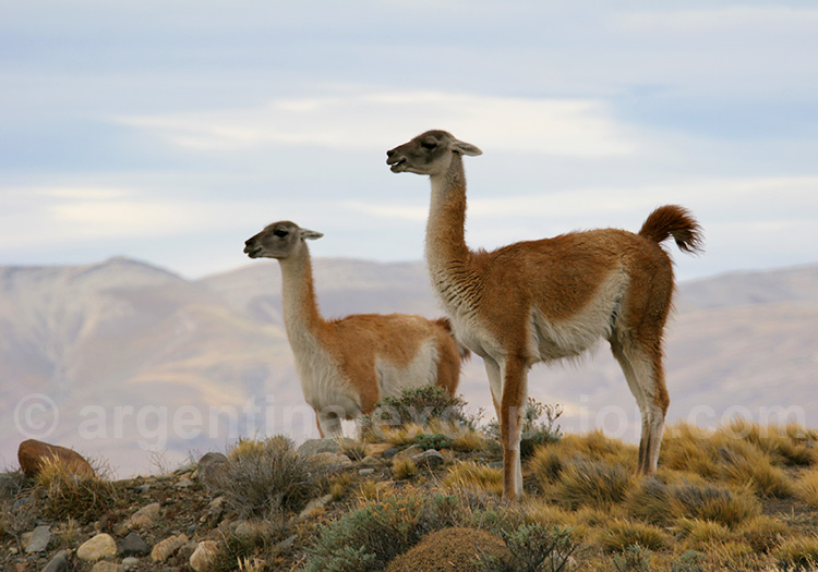 Les guanacos de Torres del Paine