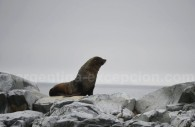 Un lion de mer – Antarctique