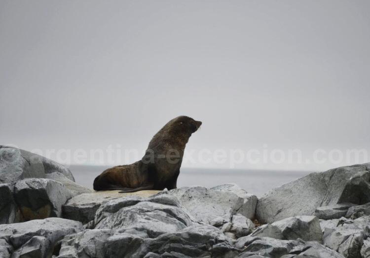 Un lion de mer - Antarctique