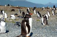 Isla Martillo, Canal Beagle - CC Jean Dudouyt