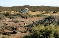 Manchots de Magellan, péninsule Valdés