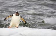Penguin - CC flickr Julien Gayarre