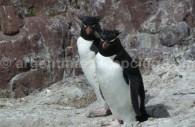 Un Manchot Gorfou sur la Isla Pinguino, Puerto Deseado, Patagonie