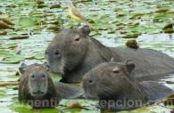 Capybaras ou Carpinchos à Esteros del Iberá