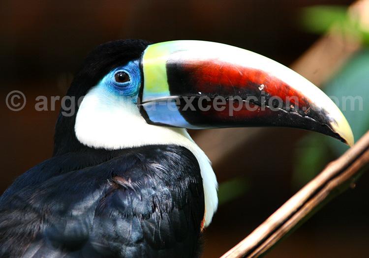 Un Toucan à Iguazú
