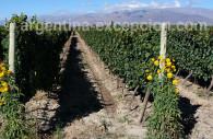 Bodega, Mendoza