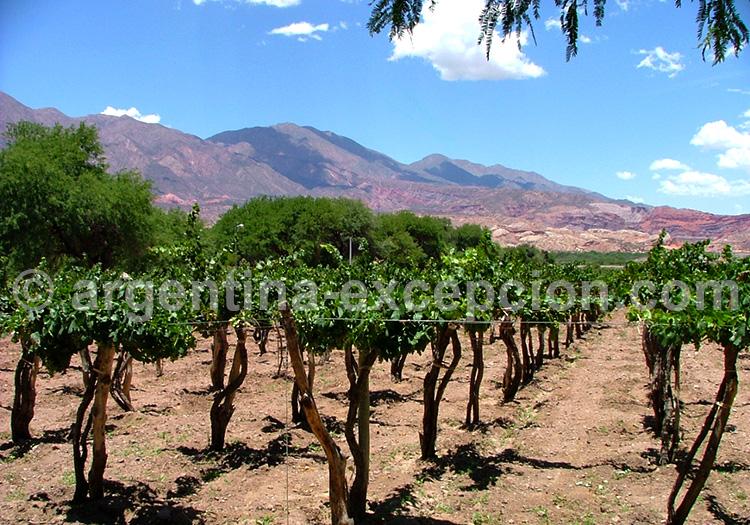 Vignobles de Cafayate