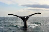 Une baleine à Punta Delgada