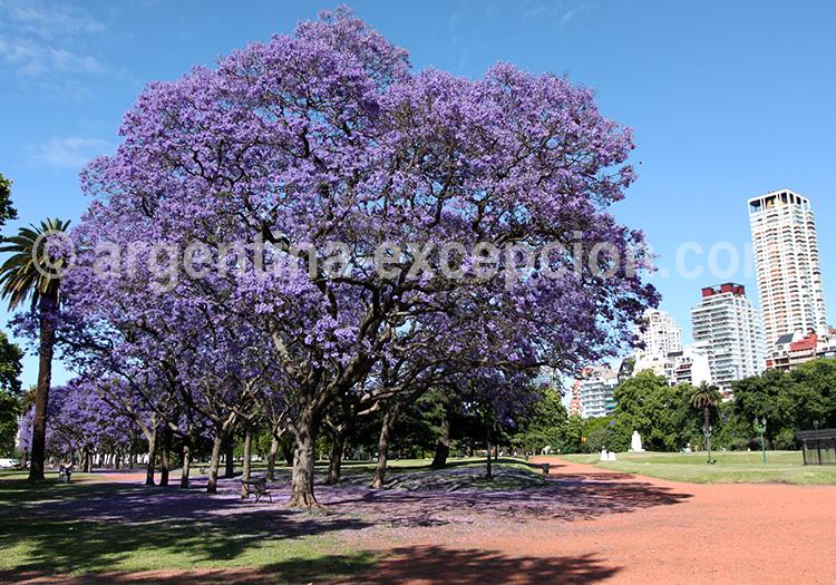 Jacarandas en fleur, Buenos Aires
