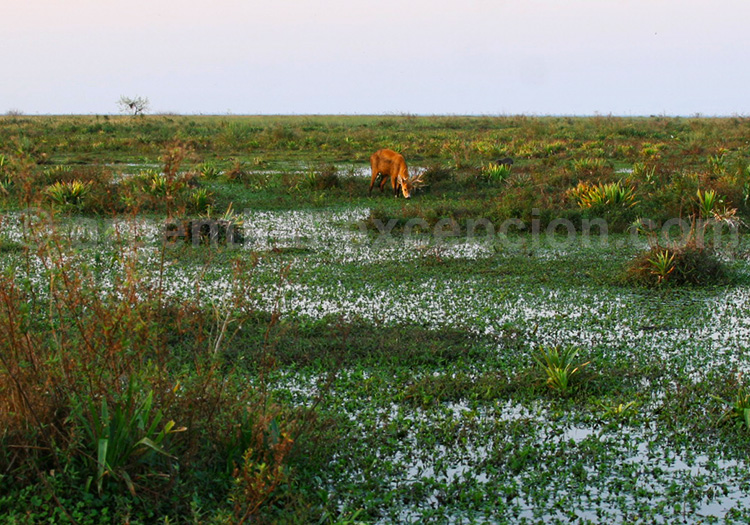Un cerf des marais, Esteros del Iberá