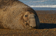 Eléphant de mer, péninsule Valdés