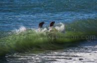 Lions de mer, péninsule Valdés