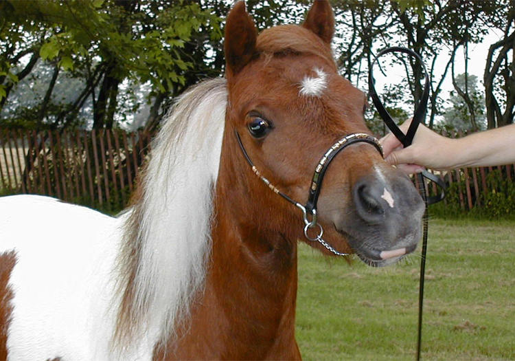 Le cheval miniature Falabella, CC Flickr Bill Strong