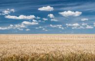 Argentine Wheat