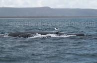 baleine franche australe golfe nuevo