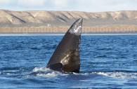 baleine franche australe puerto madryn