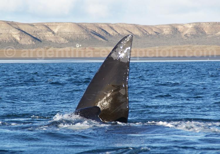 Baleine franche australe, Puerto Madryn