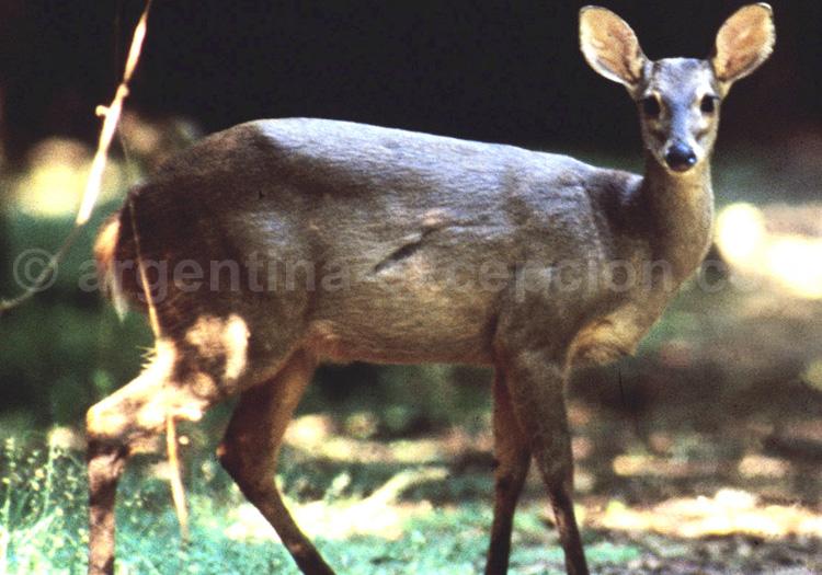 Monument naturel taruca ou cerf andin ou Hippocamelus antisensis