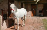 cheval silla argentino argentine