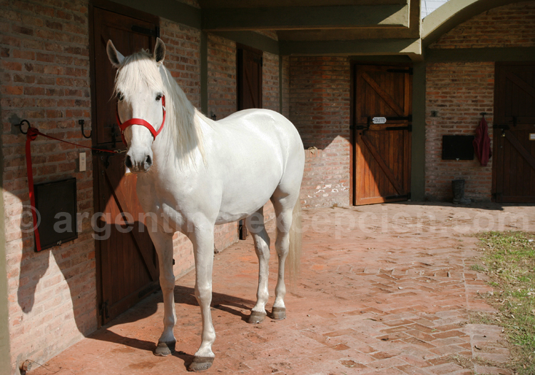 Cheval Silla Argentino