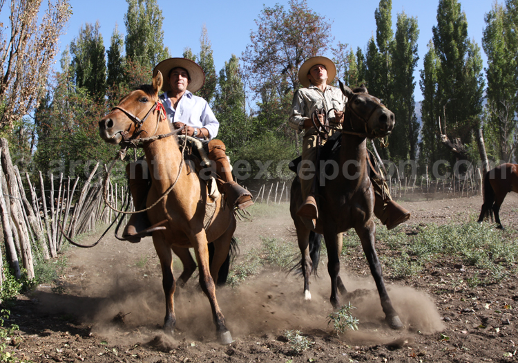 Chevaux créoles à Mendoza