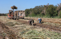 Recolte du maïs Argentine