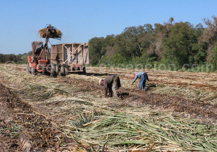 Recolte du maïs, Argentine