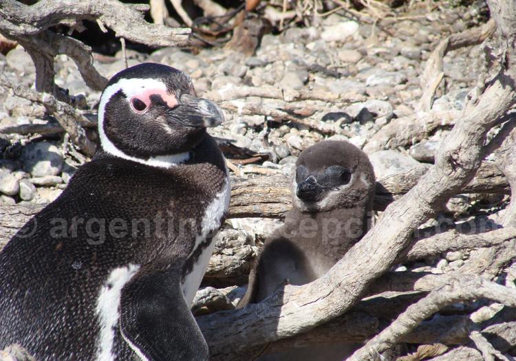 Manchots de Magellan, Patagonie argentine