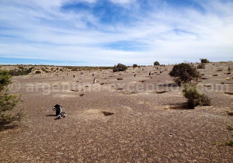 Colonie de machots, Punta Tombo