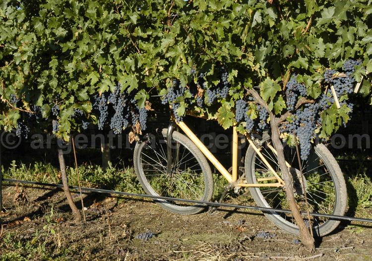 cabernet franc, vignes de Mendoza, bodega Tapiz