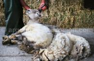 Tonte des moutons en Patagonie Argentine