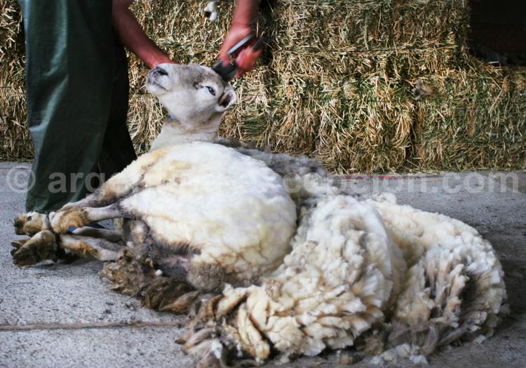 Tonte des moutons en Patagonie, Argentine